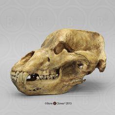 Cave Bear Skull - Bone Clones, Inc. - Osteological Reproductions