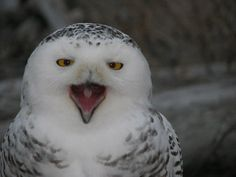 Yawning Snowy Owl from Dungeness Spit in Sequim, WA.