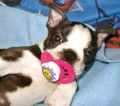 Funny Animals: Funny Boston Terrier Puppies