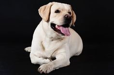 If you own a Lab, you may have asked yourself: Why are Labradors always hungry? Researchers have revealed why the our favorite dog breed cannot stop eating. Always Hungry, Stop Eating, All Dogs, Labradors, Dog Breeds, Labrador Retriever, Labs, Cambridge University, Animals