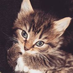 #tiger #babytiger #stripes #fluffy #eyeliner #bornwithmakeupon #pet #cat #animal #kitten #babycat #adorable #cute #cutie #whitepaws #paw Baby Cats, Eyeliner, Kittens, Stripes, Photo And Video, Pets, Animals, Instagram, Cute Kittens