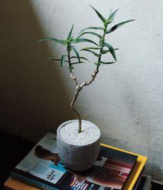 ズボラでも育てやすい植物ベスト5 No.1_アロエ・シリアス