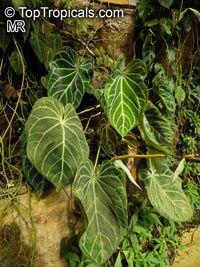 Crystallinum Anthurium, Crystal anthurium, flor de la cola Haga clic para ver la imagen a tamaño completo