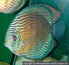 Symphysodon aequifasciatus haraldi: Lago Manacapuru royal blue discus