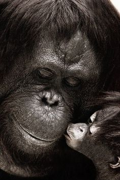 Amor sem fronteiras ! Chimpanzee, Orangutan, Monkey Species, Animals Beautiful, Cute Animals, Ape Monkey, Baboon, Primates, Pictures
