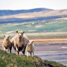 Traveling to Iceland? Prepare for a lot of sheep. Thanks @maltesewander for tagging #smartertravel!
