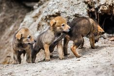 Red wolf pups born in April 2018 at Lowry Park Zoo (Zoo Tampa) in Florida!