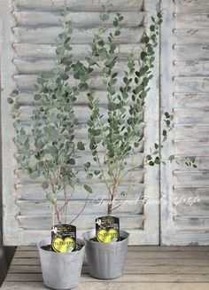 <i>Eucalyptus</i><BR><BR>ユーカリ<BR> ハートリーフ・ユーカリ 『ウェブステリアナ』 Big Indoor Plants, Potted Plants, Garden Plants, Spa Design, Garden Design, Privacy Landscaping, Green Garden, Green Life, Green Flowers