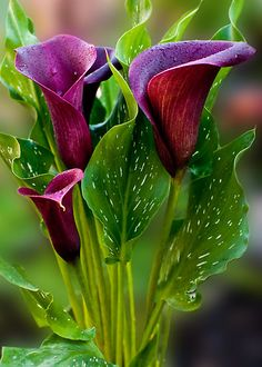 ~~Soft as velvet ~ Calla Lilies by Lissywitch~~