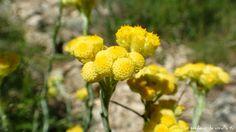 Flor en el barranc de l' Encantada, Planes, Alicante
