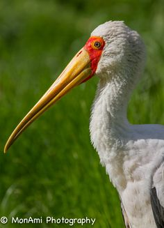 Yellow-billed Stork by MonAmi Photography on 500px