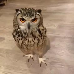 Owl The Effective Pictures We Offer You About Cutest Baby Animals funny A quality picture can tell y Funny Animal Videos, Cute Funny Animals, Funny Animal Pictures, Cute Baby Animals, Animals And Pets, Funny Owls, Owl Pictures, Funny Videos, Beautiful Owl