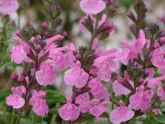 Salvia microphylla 'Flower Child'