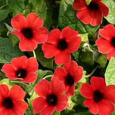 Black-Eyed-Susan Vine 'Arizona Dark Red' Thunbergia - Plant in a pot or train on an obelisk, a real show-stopper.