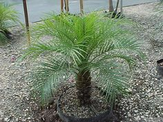 Dwarf (Pygmy) Date Palm Phoenix Roebelenii - Google Search