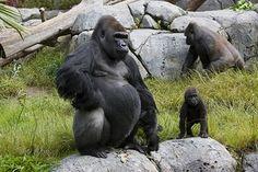 Gorillas   by San Diego Zoo Global