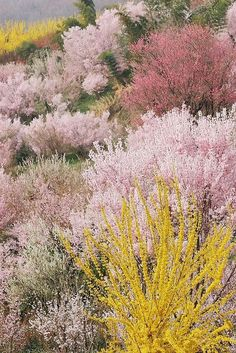 Wild Flowers: full bloom in hanamiyama, watari, fukushima, japan.tn - Leading Flowers Magazine, Daily Beautiful flowers for all occasions Sweet Blossom, Cherry Blossom, Color Inspiration, Mother Nature, Wild Flowers, Desert Flowers, Autum Flowers, Blooming Flowers, Flowers Nature