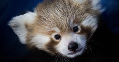 The red panda is loved but vulnerable to habitat loss and climate change.