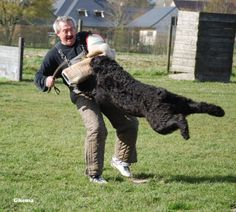 Bouvier Dog | The Bouvier des Flandres | Modern Dog magazine - the best dog ...