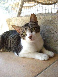 Helfende Hände e.V. - Katze Anton (EKH ca. 2 Jahre) sucht ein Zuhause…