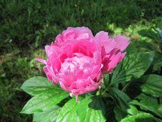 Kölked_059 Rose, Garden, Flowers, Plants, Garten, Florals, Roses, Planters, Plant