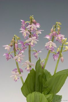Spring Calanthe: Japanese Calanthe