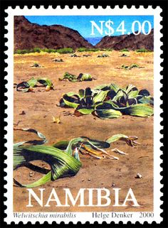 Welwitschia Mirabis found in the Namibia Desert Namibia, Africa has a lifespan of over 2,000 years.