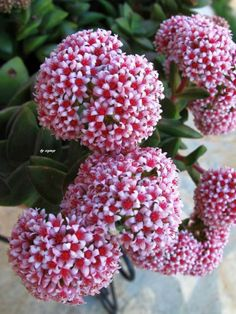 Crassula 'Springtime' is a slow growing succulent, climbing up to 6 inches cm) tall, and works well as ground cover or in hanging basket. The stems. Wax Flowers, My Flower, Pretty Flowers, Growing Succulents, Planting Succulents, Planting Flowers, Most Beautiful Flowers, Exotic Flowers, Crassula