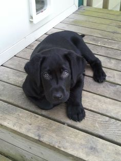 Trigger! My adorable little black lab puppy