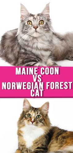 Norwegian Forest Cat or Maine Coon? Discover the differences in Maine Coon vs Norwegian Forest Cat size, care, personality and more. Fun Facts About Cats, Cat Facts, Kittens Cutest, Cute Cats, Cats And Kittens, Cat Site, Norwegian Forest Cat, Maine Coon Cats, Domestic Cat