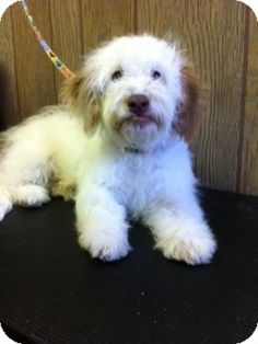 Toby is a 5 month old, male,  Poodle/Lhasa Apso mix. He is a shy sweet boy, who loves other dogs, kids, and loves water. Toby is using the doggy door to go potty and will make someone very happy.  His adoption fee is $250 includes neuter, vaccinations, vet exam. Call AZ  Small Dog Rescue at 602.703.0049 or meet/adopt him at 1102 W Hatcher Rd in Phoenix, AZ