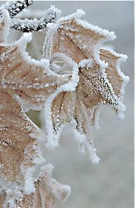 frost on faltering leaves