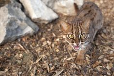 Home - The Big Cat Sanctuary Rusty Spotted Cat, Big Cats, Mammals, Feathers, Kitty, Pets, Little Kitty, Kitty Cats, Kitten