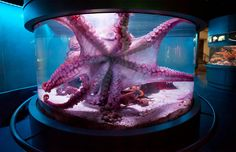 Octopus fish tank. I have ALWAYS wanted one of these!!!