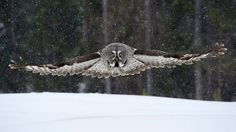 Great Grey Owl hunting 18.4.2012 Lapland Finland by Jari  Peltomäki on 500px