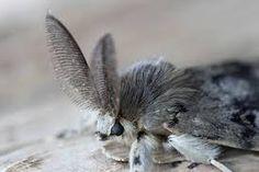 Male Gypsy Moth
