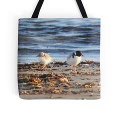 Hooded Plover chick with parent by BirdBags Small & Large