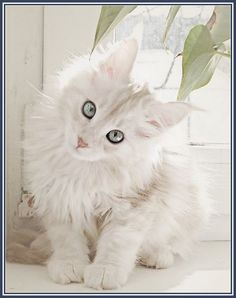 Fabulous White Maine Coon Cats More Cats http://funfunblog.com/white-maine-coon-cats