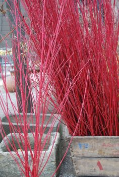 Tatarian dogwood (Cornus alba), white berries and red stems;  blood-twig dogwood (Cornus sanguinea), black berries and crimson/gold stems, and red osier dogwood (Cornus sericea), a U.S. native with white berries and red winter stems. ***Special:  'Midwinter Fire.' has two-tone yellow and red winter stems that practically glow    'Cardinal' and 'Arctic Fire' are good varieties  They're both 5- to 6-footers and have attractive purple fall foliage.