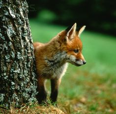 Small red fox standing at a tree trunk