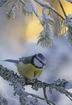 ~A Sinitiainen ~ Finnish winter bird /Passer Domesticus: postcards of birds~ ~~ Thought this was a Blue Tit? Maybe the name above is his scientific name? Pretty Birds, Beautiful Birds, Winter Scenery, Winter Magic, Mundo Animal, Winter Beauty, All Gods Creatures, Belleza Natural, Little Birds