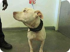 05/13/16  -  Los Angeles, CA - American Staffordshire Terrier. Meet A1622174, a dog for adoption. http://www.adoptapet.com/pet/15395464-los-angeles-california-american-staffordshire-terrier