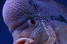 Incredible Flowerhorn 3936