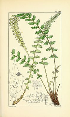 Vintage Fern Prints Plate 6 Wall Art beautiful giclee reproduction print on fine paper. Available in different sizes, unframed or framed in gold or silver leaf wood frame, or wood burl. Custom sizes available. Made in USA by Museum Outlets