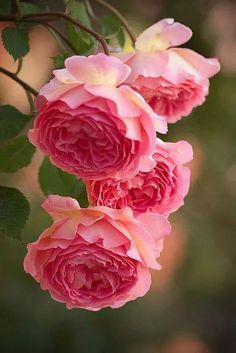 New Flowers Pink Roses Ana Rosa Ideas Beautiful Roses, Beautiful Gardens, Wonderful Flowers, Beautiful Life, Beautiful Things, Pretty Flowers, Pink Flowers, Pink Peonies, Colorful Roses