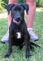 Magnolia SAF is an adoptable Black Labrador Retriever Dog in Killingworth, CT. Magnolia is just 14 weeks old and she weighs 25 pounds. She is a snuggly sweetheart who loves to be held. She's swee...