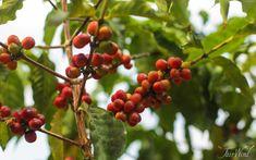 Kona Coffee on the Big Island of Hawaii Kona Coffee, Continental Breakfast, Big Island, Fruit Trees, Keurig, Coffee Addiction, Hawaii, Hawaiian Islands