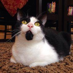 I fall into daydreams of yarn balls and tunatinis on a... Follow us on Instagram :D #cats #cat #catlover #lovecats #funny #fun #cute #socute #feline #felines #felinefriend #fur #furry #paw #paws #kitten #kitty #kittens #kittycat #kittylove #fluffy #fluff