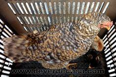 De Verde Casa: Imprevistos rurais e a vontade de criar galinhas