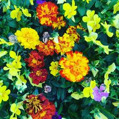 Marigold, Flowers, Plants, Plant, Royal Icing Flowers, Flower, Florals, Floral, Planets